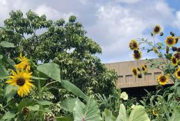 sunflowers and kalo in the garden